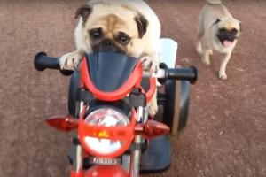 Ez a motorral csapató kutya üti szét ma a cukiságmérőt
